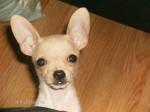 Chien tout-ptite - Chihuahua Femelle (4 mois)