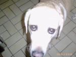 Chien bebel - Chihuahua Mâle (1 an)