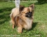 Chien CH. Follow Me - Chihuahua Femelle (3 ans)