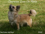 Chien Fable - Chihuahua Femelle (4 ans)