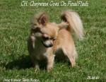 Chien CH. Final Flash - Chihuahua Femelle (3 ans)