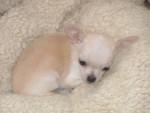 Chien chloe - Chihuahua Femelle (2 mois)