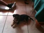 Chien Brutus - Chihuahua Mâle (2 mois)