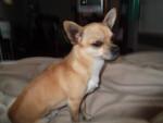 Chien ZOUZOU - Chihuahua Femelle (4 ans)