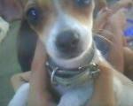 Chien Seyka Q.E.PD. - Chihuahua Femelle (5 mois)