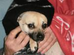 Chien poupée - Chihuahua Femelle (2 ans)