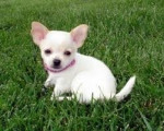 Chien chiuaua - Chihuahua Femelle (7 mois)