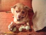 Chien Tigger - Chihuahua Mâle (1 an)
