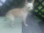 Chien Batman - Chihuahua Mâle (4 ans)