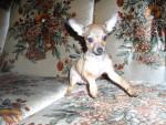 Chien bibou - Chihuahua Mâle (2 mois)