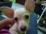 Chien Coffee - Chihuahua Femelle (7 mois)