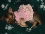 Chien paiette - Chihuahua Femelle (2 ans)