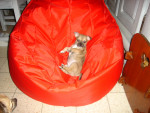 Chien mickey - Chihuahua Femelle (2 ans)