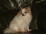 Chien ciboulette - Chihuahua Femelle (12 ans)
