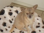 Chien caricol - Chihuahua Femelle (8 ans)