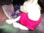 Chien Princess - Chihuahua Femelle (2 ans)