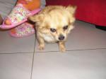 Chien Pongo - Chihuahua Mâle (8 ans)