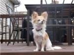 Chien Shil - Chihuahua Femelle (1 an)