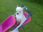 Chien Princesse dans la poussete - Chihuahua Femelle (6 ans)