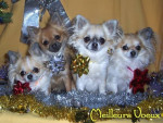 Chien mes bebe - Chihuahua Femelle (3 mois)