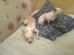 Chien PRINCESSE et LOLA - Chihuahua Femelle (2 ans)