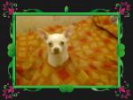 Chien Lola, Drole - Chihuahua Femelle (2 ans)