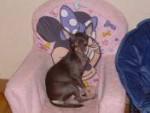 Chien max - Chihuahua Mâle (1 mois)