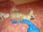Chien bibou le feignant - Chihuahua  (0 mois)