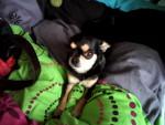 Chien Maya - Chihuahua Femelle (3 ans)