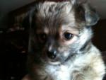 Chien fatal - Chihuahua Mâle (5 mois)