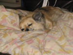 Chien Chihuahua   TYSON - Chihuahua  (0 mois)