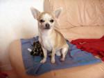 Chien Chihuahua VAILLANT - Chihuahua  (0 mois)