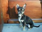 Chien Chihuahua ARTUS - Chihuahua Femelle (0 mois)
