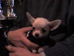 Chien Chihuahua poil court - Chihuahua Femelle (0 mois)