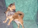 Chien chihuahua alias - Chihuahua  (0 mois)