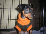 Chien luffy - Chihuahua Mâle (1 mois)