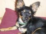 Chien ROCKY CHIHUAHUA - Chihuahua  (0 mois)