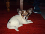 Chien chihuahua à long poil Lucky - Chihuahua  (0 mois)