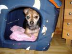 Chien croisée pinscher chihuahua - POUPOUNE - Chihuahua  (0 mois)