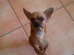 Chien chihuahua - Chihuahua  (0 mois)
