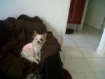 Chien LOUNA, croisé york et chihuahua - Chihuahua Femelle (0 mois)