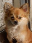 Chien Chihuahua Cookies - Chihuahua  (0 mois)