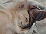 Chien flocon chihuahua - Chihuahua  (0 mois)