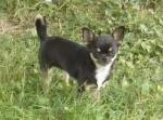 Chien Diorissima du Clos des Mouyssoux - Chihuahua  (0 mois)