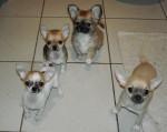 Chien 4 frères 3 mois - 1 à poil court & 1 à poil long - Chihuahua  (3 mois)