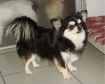 Chien Elsuave Of Tierras Calientes - Chihuahua  (0 mois)