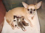 Chien Fantastica Of Tieras Calientes - Chihuahua  (0 mois)