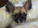 Chien Furby caché - Chihuahua  (0 mois)