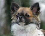Chien Furby, Chihuahua 10 mois - Chihuahua Femelle (10 mois)