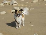 Chien Furby 24 mois à la plage - Chihuahua  (2 ans)